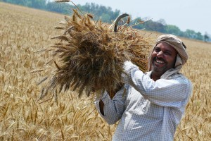 Farmer with wheat harvest