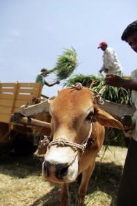 cow pulling fodder