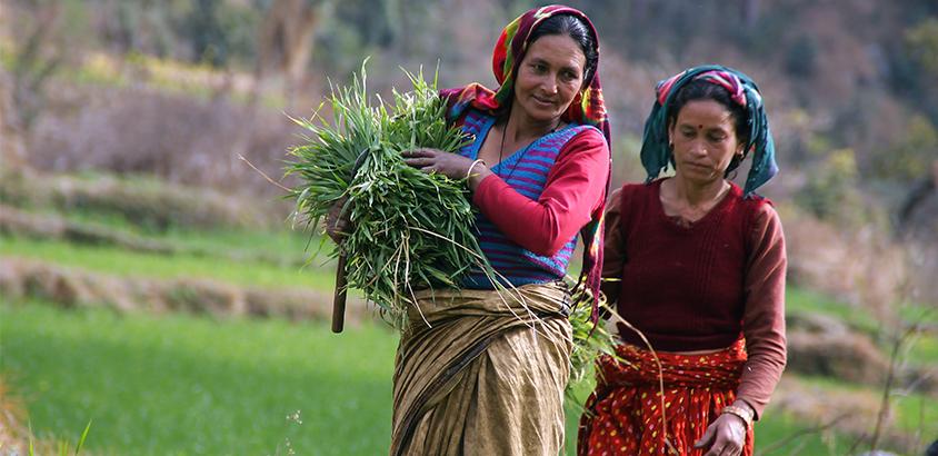 harvesting grn fodder_orig