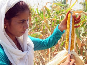 Dhangadhi Maize