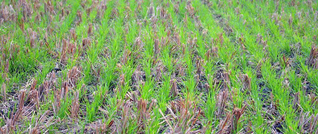zero-tillage-wheat
